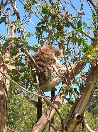 Koala peacefully sleeping in a tree...as it should be!