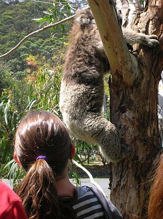 Traumatized koala trying to escape people / tourists.
