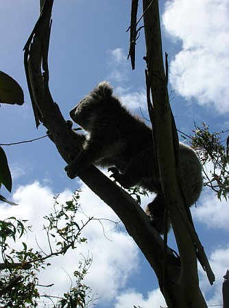 I would really love to know what this koala is thinking right now...he is probably wishing this tree were a lot taller.