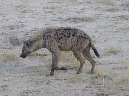 This hyena is trying to find the lions' kill.  And so are we!