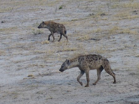 Hyenas. Just a link in the scavenger chain.
